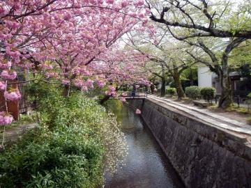 cerisiers du japon © y estienne.JPG